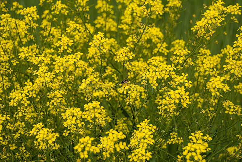 Winter cress blooms on the field - the herbaceous plant of the Brassicaceae family of cabbage, previously known as cruciferous.  royalty free stock photo