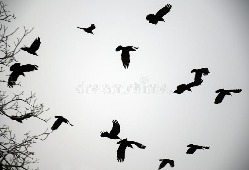 Winter Crows. Flying crows in winter in black&white stock images