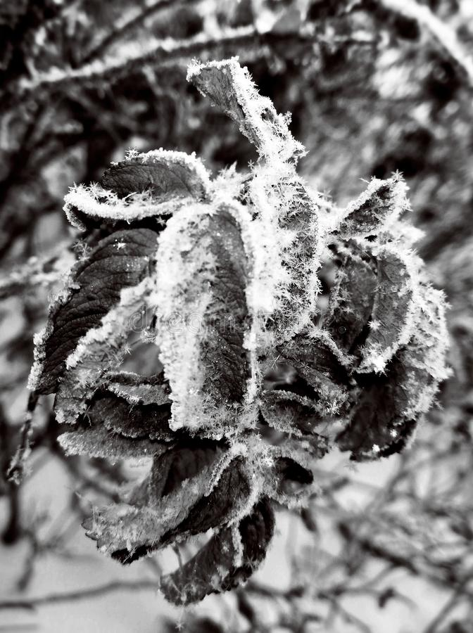 Winter crystal frost rime on a dry tree with frozen snowflackes on branch. royalty free illustration