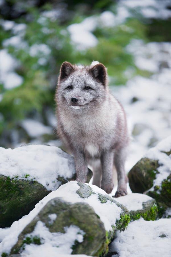 Winter Portrait of Grey Polar Fox. Winter Cute Portrait of Grey Polar Fox royalty free stock photography