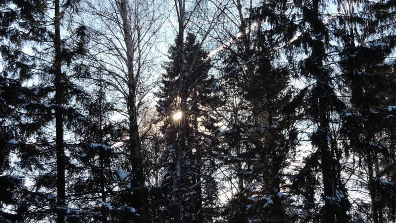Winter day in forest. Winter day in the forest with snow-covered fir branches and the sun through the trees stock images
