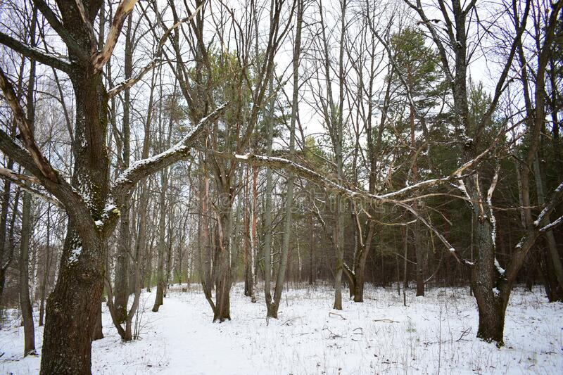 Winter day in an oak grove after a snowfall. Oak grove is stunningly beautiful, the forest holds many secrets and mysteries that stock photos