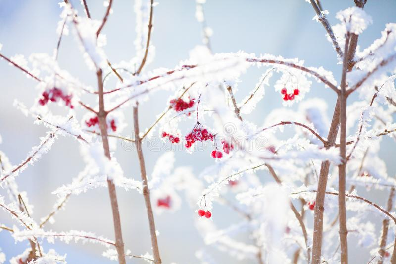 Winter, snow at the branches with berries. stock photos