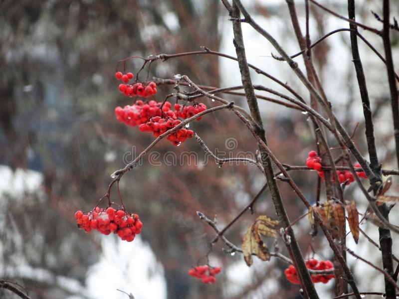 Branches of red rowan in the rain. Winter day, snow with rain, wind and red rowan berries stock image