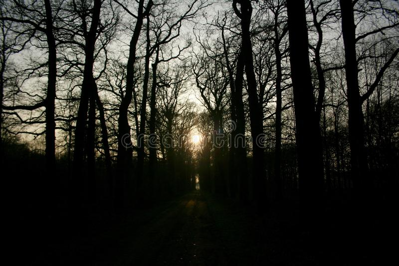 A winter day in the woods in the Netherlands. The sun is low and going down. It is like a sunset behind the trees. The trees are high stock photos