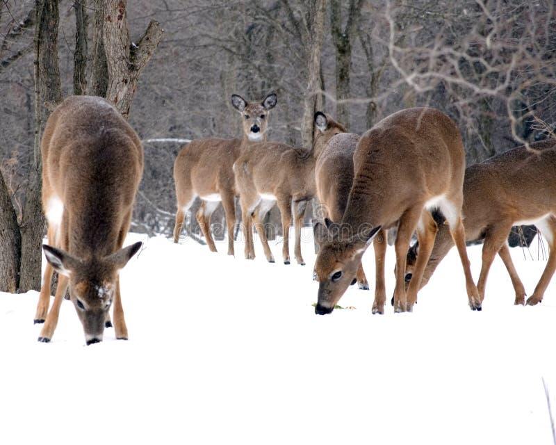 Winter Deer stock photos
