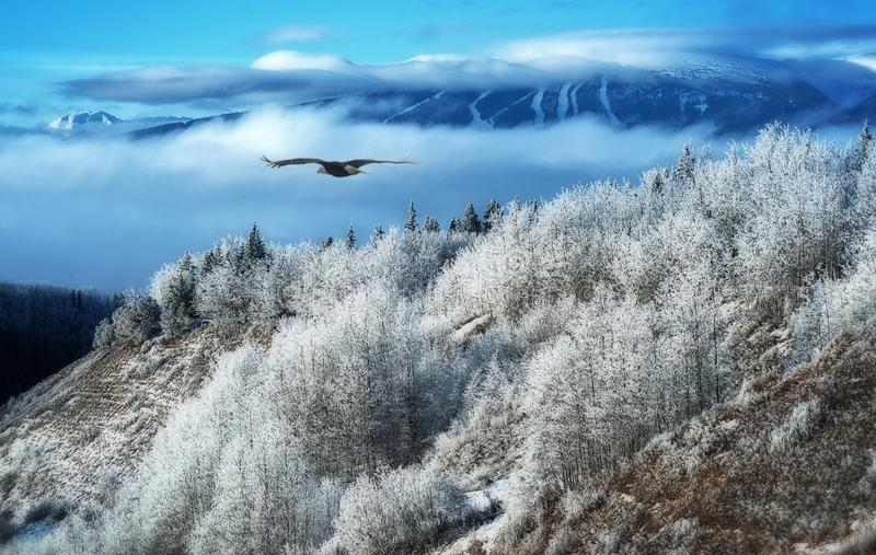 Winter Dreams - Bald Eagle Flight. A bald eagle is soaring over snow covered trees in the canadian north of British Columbia, Canada stock photo