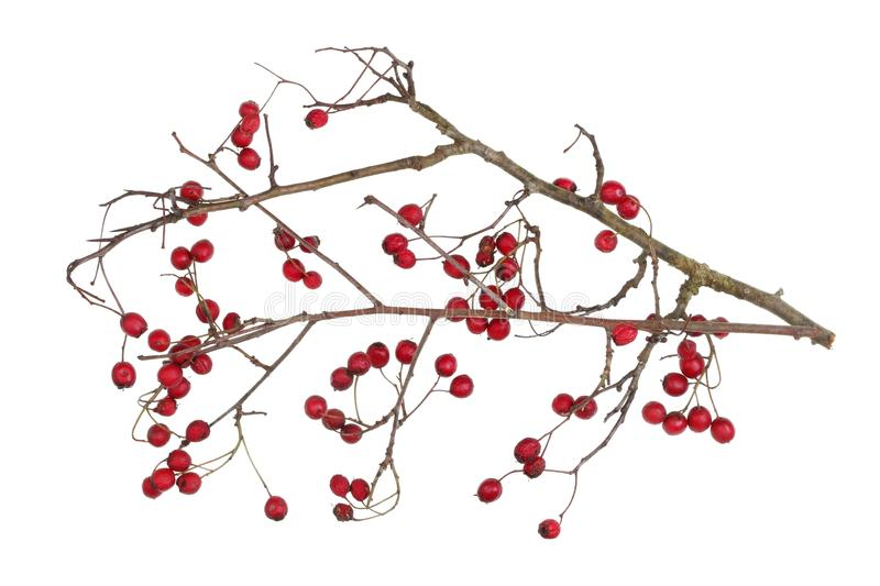 Winter dry branches of forest hawthorn with red berries isolated royalty free stock images