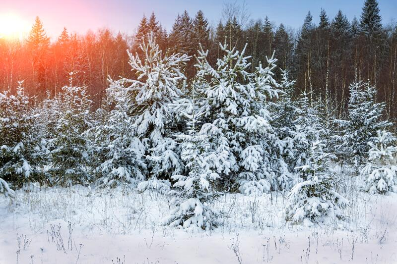 Winter, evening landscape of the forest with the setting sun.  stock image