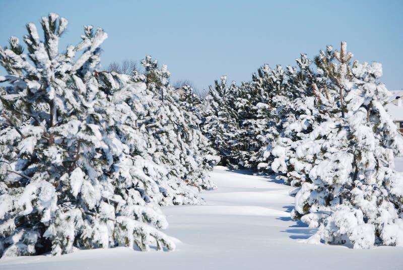 Winter evergreens stock photography