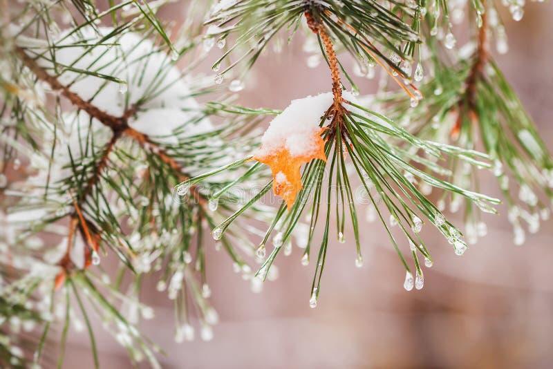Winter fängt an Gelbes Ahornblatt des Herbstes fest auf einer Kieferniederlassung unter erstem Eisregen lizenzfreie stockfotos
