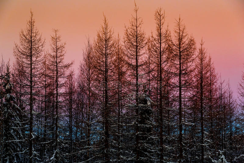 Winter fairy forest at sunset royalty free stock photo