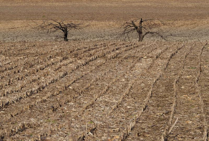 Winter farmland background. Two bare trees among the rows of a cut cornfield stock image