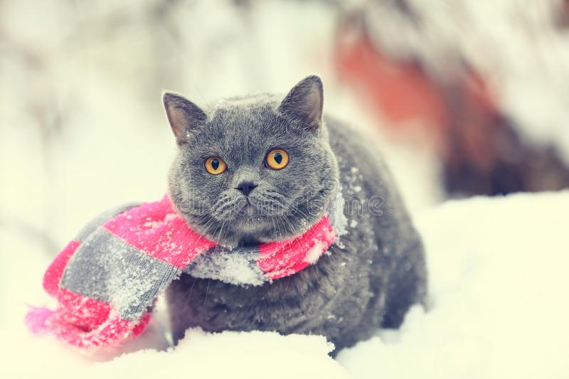 Cat wearing pink gray knitting scarf stock photography