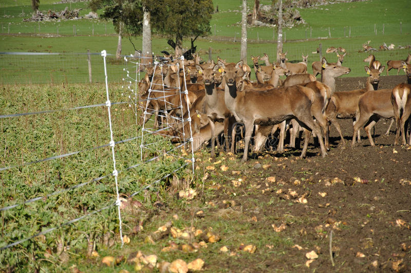 Download Winter feed stock image. Image of antlers, hunted, outdoors - 27624809