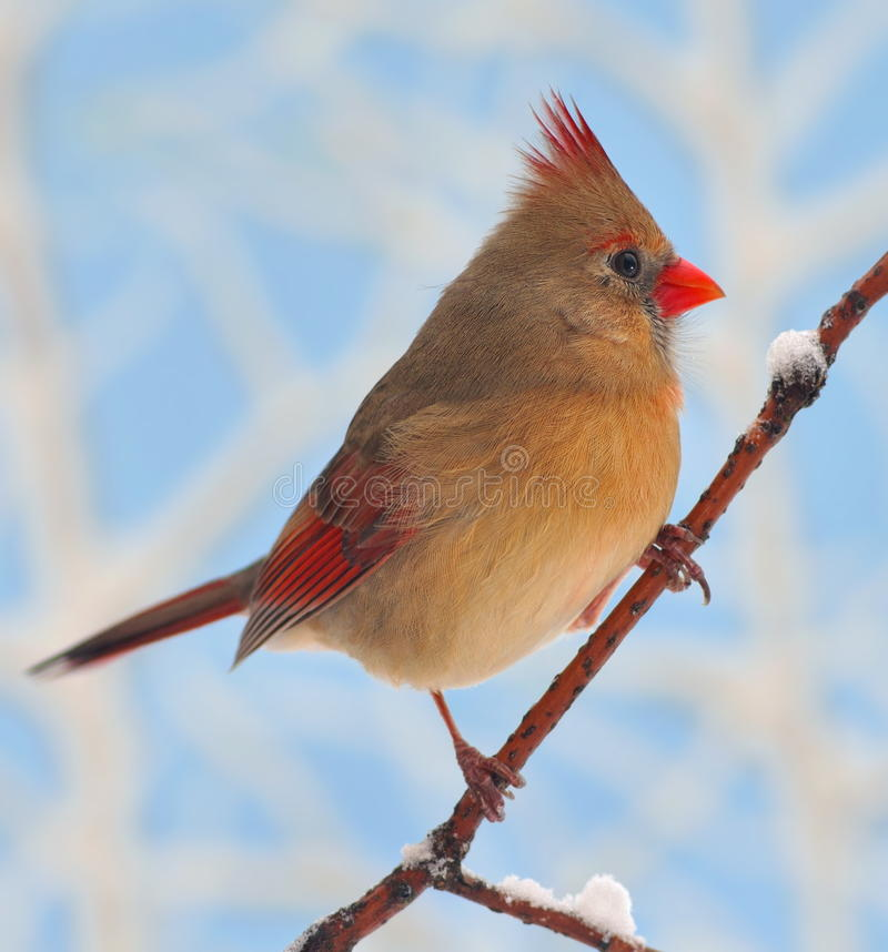 Winter Female Northern Cardinal royalty free stock photography