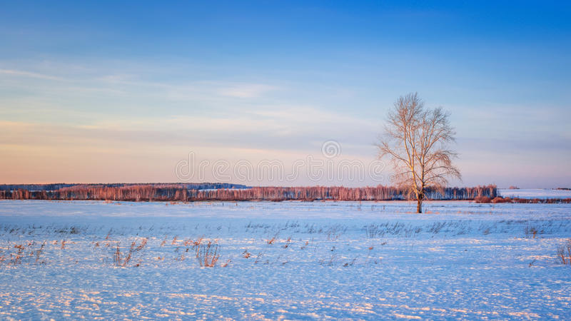 Winter field with a lone tree and a forest on the horizon, Russia, Ural royalty free stock photo