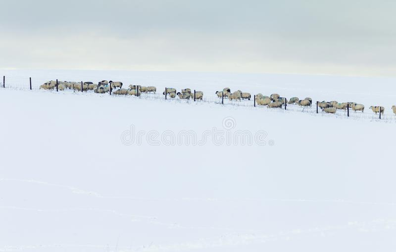 Herd of Sheep Roaming on Winter Pasture in Snow stock images