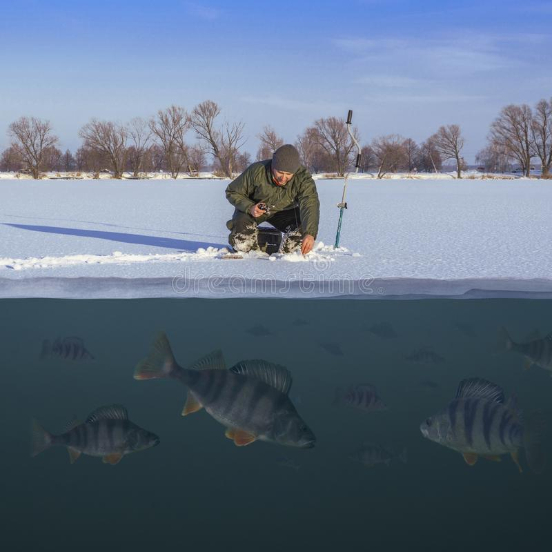 Winter fishing concept. Fisherman in action. Catching perch fish from snowy ice at lake above troop of fish. Double view under and stock photography