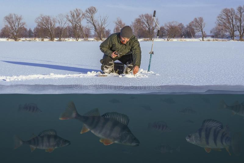 Winter fishing concept. Fisherman in action. Catching perch fish from snowy ice at lake above troop of fish. Double view under and stock photo