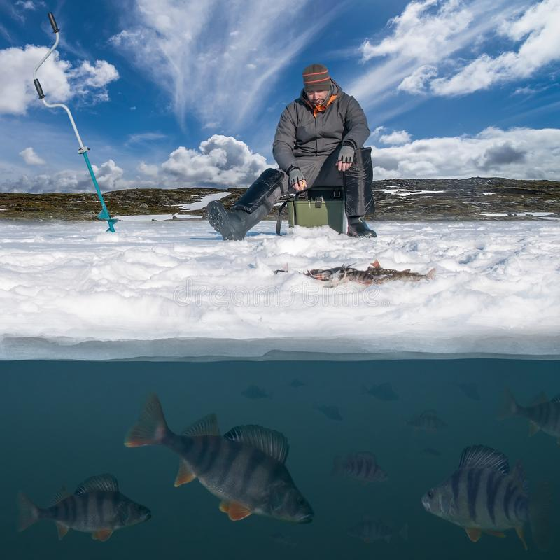 Winter fishing concept. Fisherman in action. Catching perch fish from snowy ice at lake above troop of fish. Double view under stock photo