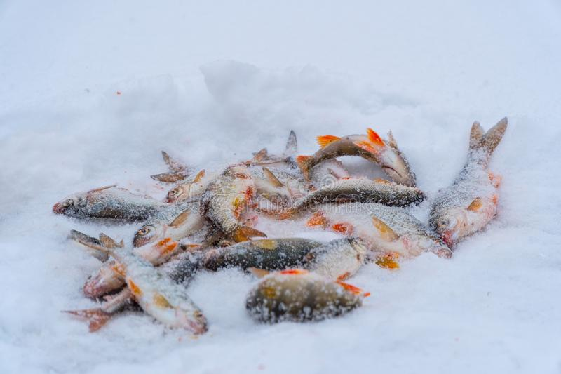 Winter fishing. Fish in the snow royalty free stock images