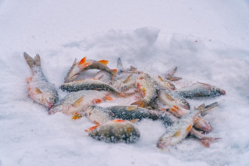 Winter fishing. Fish in the snow stock image