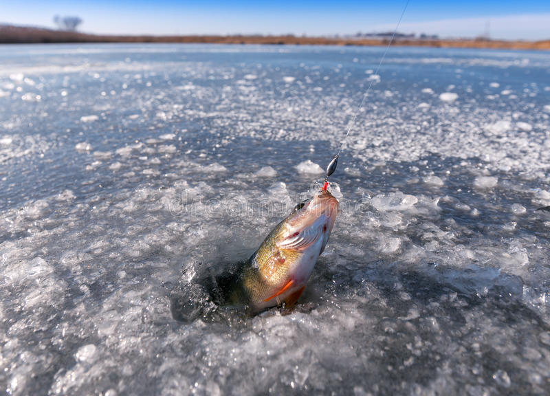 Winter, fishing, perch stock images