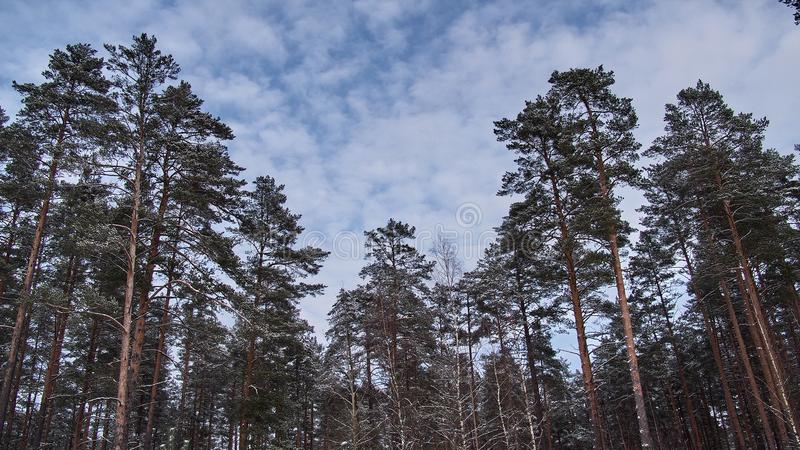 Winter fores and sky landscape royalty free stock image