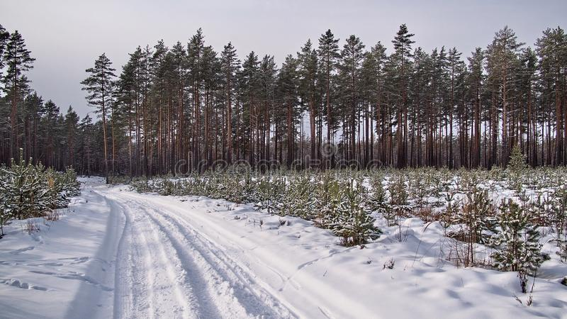 Winter fores and snow landscape stock photos