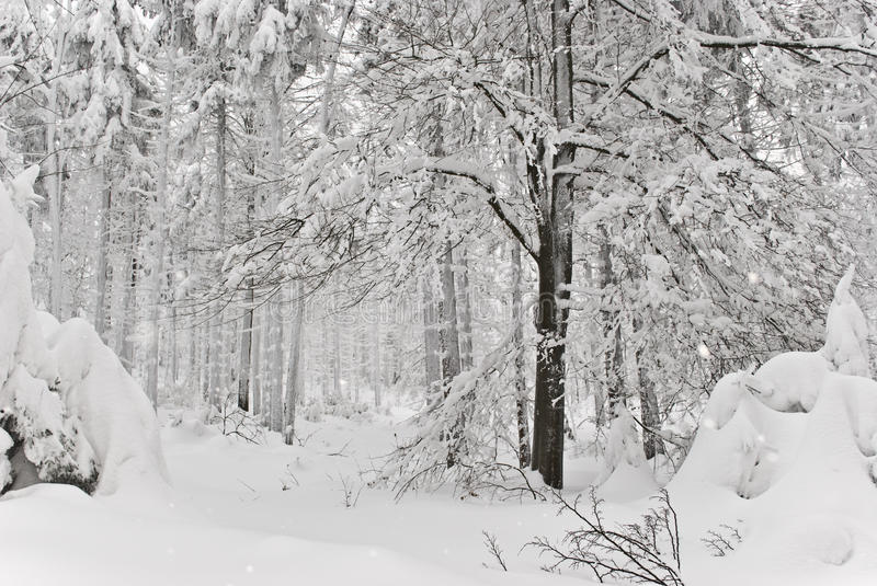 Download Winter forest stock photo. Image of winter, seasonal - 12996610