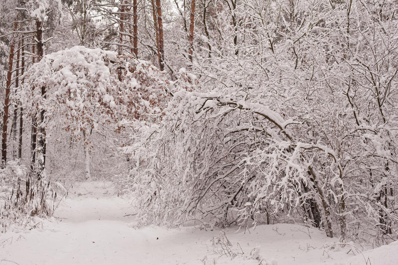 Download Winter Forest Royalty Free Stock Photo - Image: 13419155