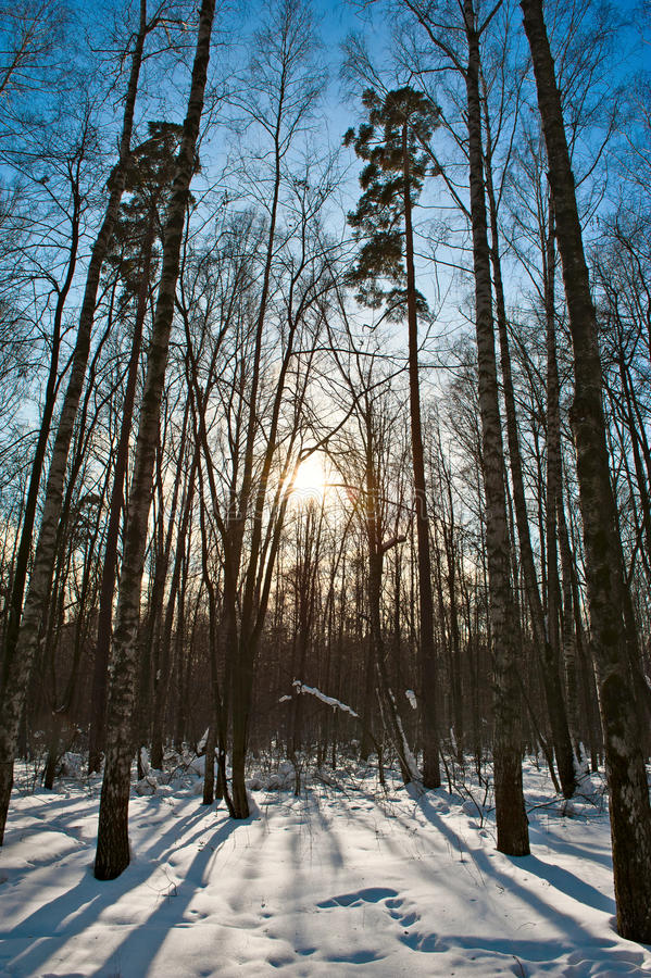 Free Winter Forest Royalty Free Stock Photography - 18779907