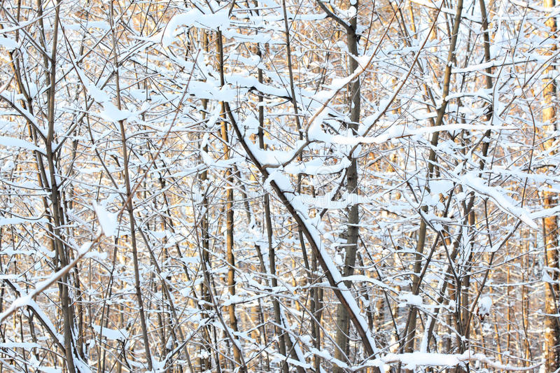 Download Winter forest stock photo. Image of clean, closeup, freeze - 20801540