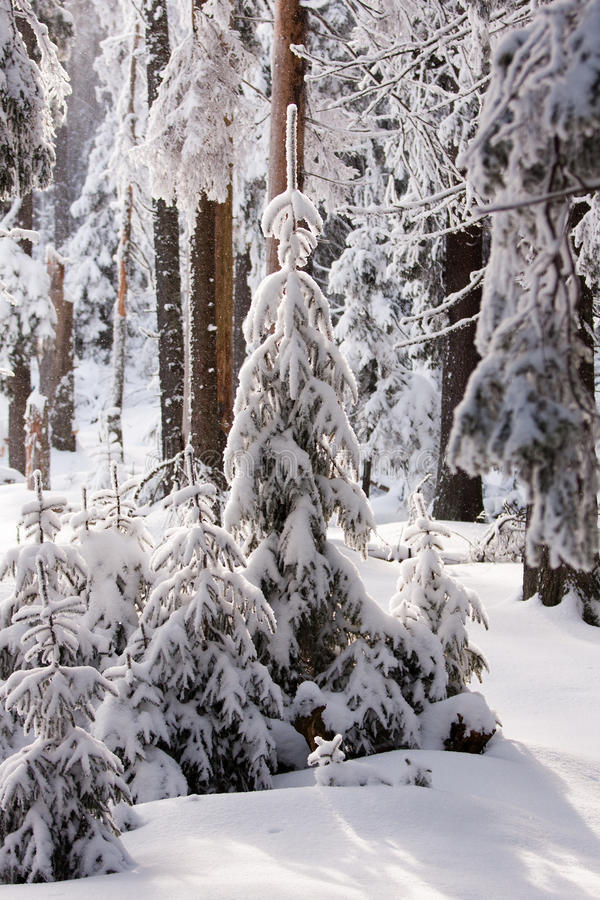 Download Winter forest stock image. Image of cold, january, natural - 24587559
