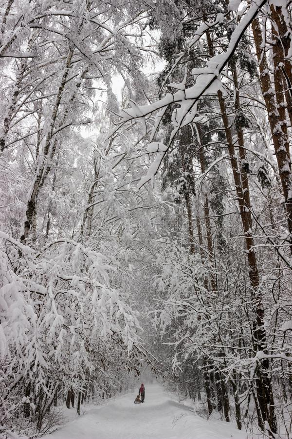 Winter forest alley royalty free stock photo