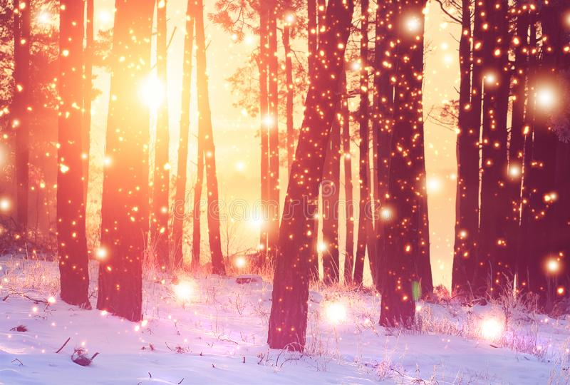 Winter forest background. Vivid sunrise in winter snowy forest. Bright sunbeams through trees in woodland royalty free stock photos