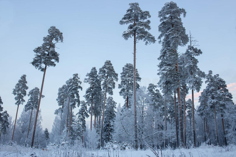 Winter forest and clear sky royalty free stock photos