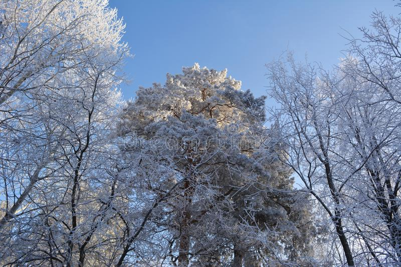 Winter forest with conifer and deciduous trees covered by hoarfrost. Wintry view. Wonderland royalty free stock images