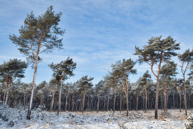 Download Winter Forest Covered With Snow Stock Photo - Image: 17516976
