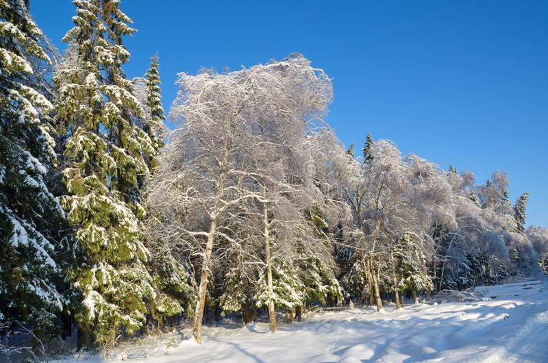 Winter forest covered with snow. Winter forest in Sunny weather royalty free stock images