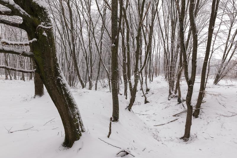 Winter in the forest with covered snow trees, abstract landscape xmas season royalty free stock photography