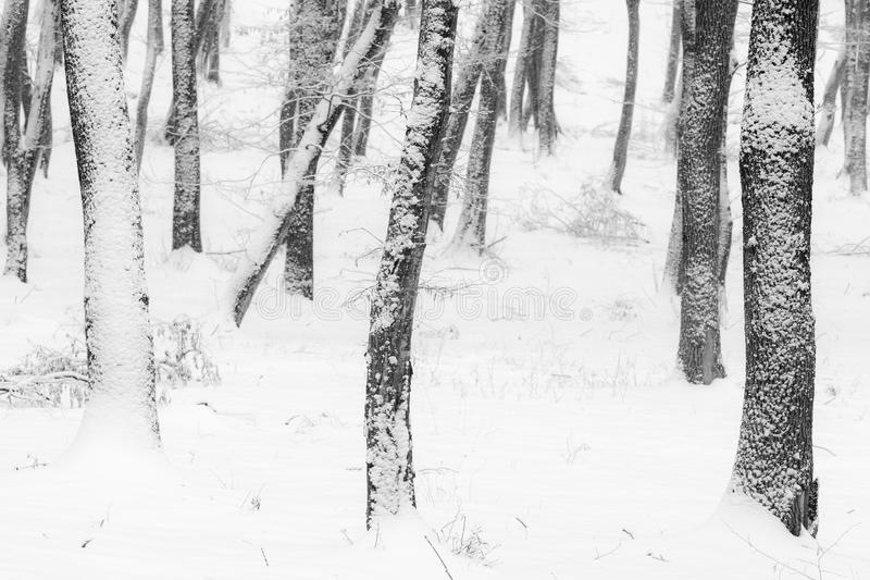 Winter in the forest with covered snow trees, abstract landscape xmas season royalty free stock photos