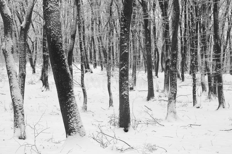 Winter in the forest with covered snow trees, abstract landscape xmas season royalty free stock photo