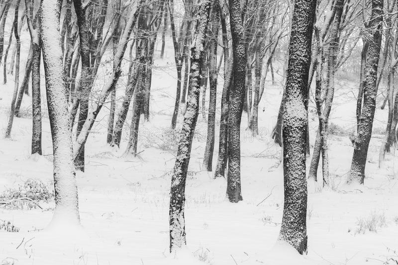 Winter in the forest with covered snow trees, abstract landscape xmas season stock photos