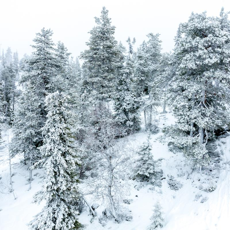 Winter forest with fir trees covered with snow. Ruka, Finland royalty free stock photo