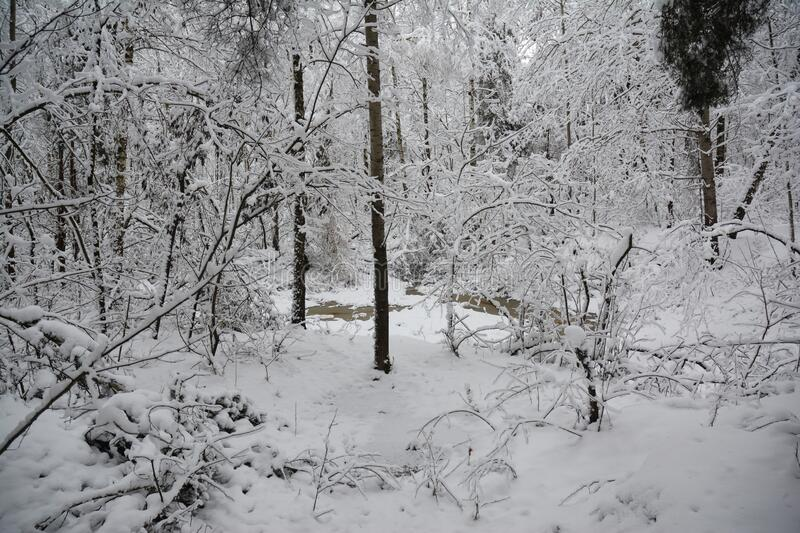 Winter forest. Forest trees, lake coverd snow stock image