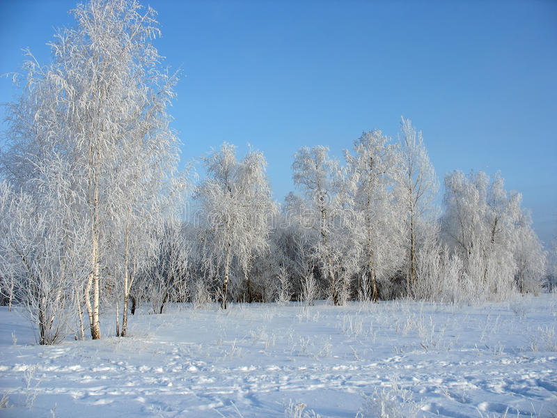 Winter forest. Frosty birches royalty free stock images