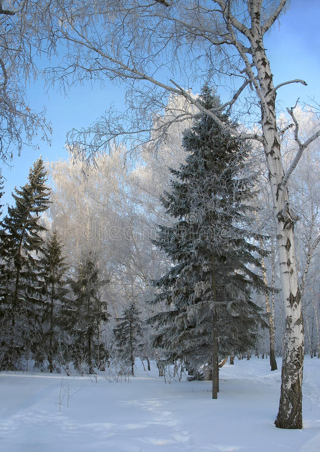 Winter forest. Frosty trees stock image