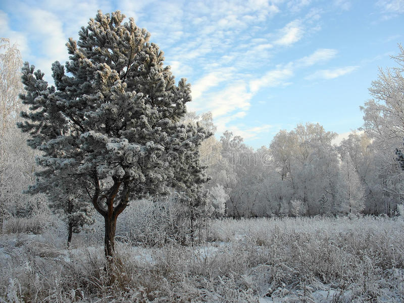 Winter forest. Frosty trees stock photography
